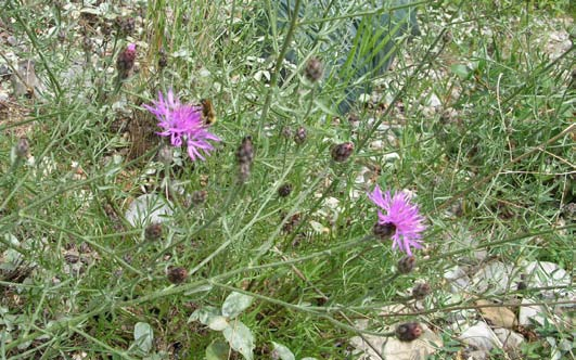 FS-SpottedKnapweed